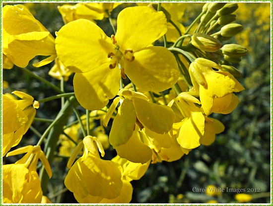 Rapeseed Flowers by carolmw