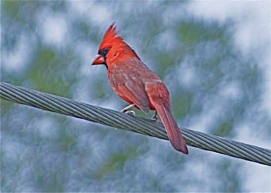 Male Cardinal by rob257