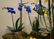 14th Apr 2012 - Blue orchids IMG_2012