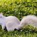 White Squirrel of Brevard by cdonohoue