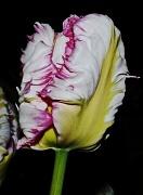 22nd Apr 2012 - parrot tulip