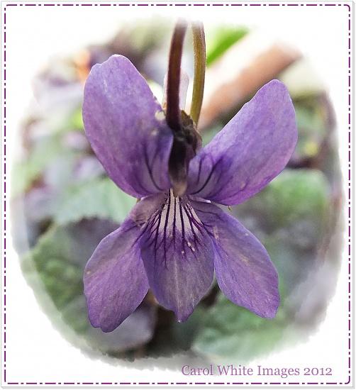 A Violet by carolmw