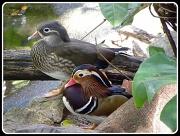 24th Apr 2012 - Mandarin Ducks