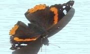 24th Apr 2012 - Red Admiral