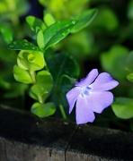 24th Apr 2012 - Purple