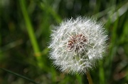24th Apr 2012 - The Obligatory Dandelion Shot