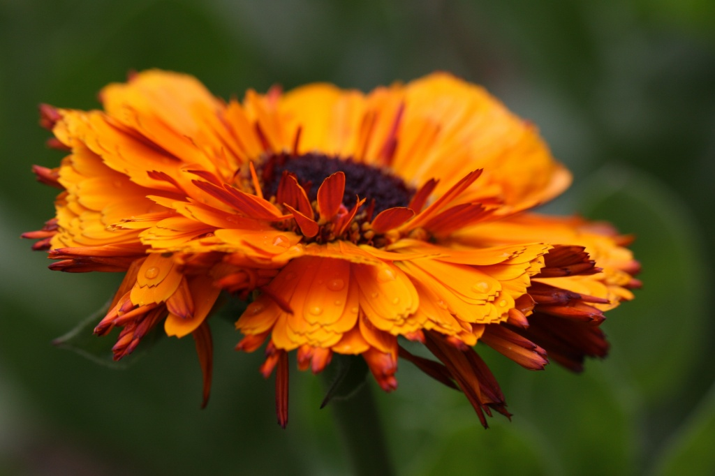 Drenched orange flower by lwain