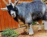 24th Apr 2012 - gaseous goat