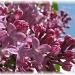 lilacs by mjmaven