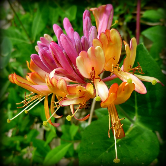 Pink Honeysuckle by calm