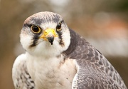 25th Apr 2012 - Lanner Falcon [1 of 2]