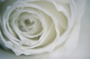 26th Apr 2012 - Rose with water drop