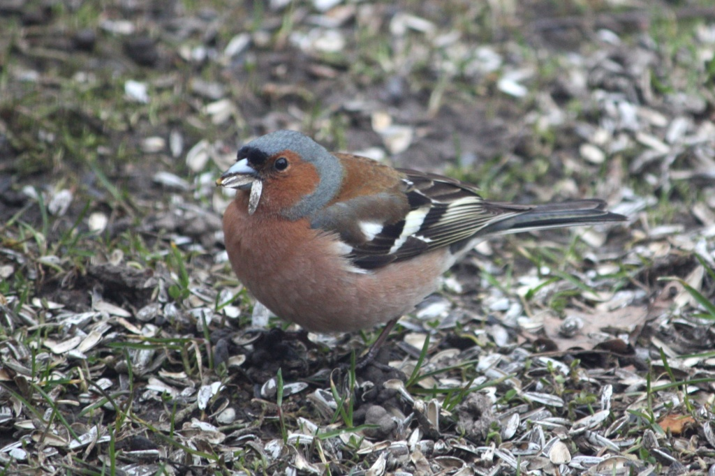 Fringilla coelebs - Chaffinch, Peippo IMG_2359 by annelis