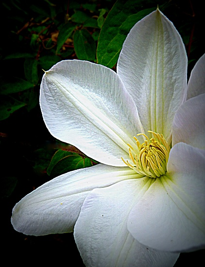 Clematis 'Lanuginosa Candida' by calm