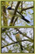 27th Apr 2012 - Restless Flycatcher
