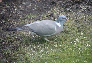 24th Apr 2012 - Columba palumbus - Common Wood Pigeon, Sepelkyyhky IMG_2397