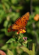27th Apr 2012 - Gulf Fritillary (I think.)