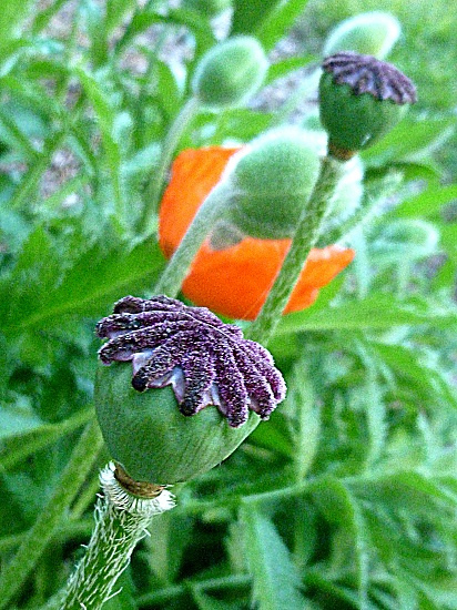 Stages of the Oriental Poppy by calm
