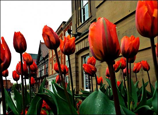 Tulips by tonygig