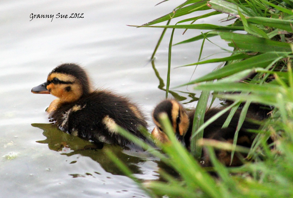 Masked Ducklings by grannysue