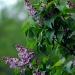 Lilac by parisouailleurs