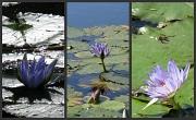 19th Jun 2010 - Water Lillies