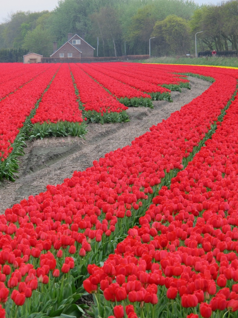 Tulips by halkia