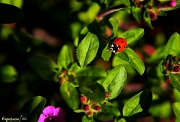 28th Apr 2012 - Little Ladybug