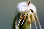 29th Apr 2012 - How Many Inch Worms Can Fit on the Seed of a Dandelion?
