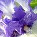 Inner Beauty of an Iris by calm
