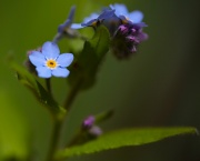29th Apr 2012 - Forget me, not.