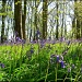 Bluebell Woods. by happypat