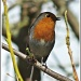 Robin-Sing Your Song-The Sun's Out by carolmw