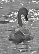 30th Apr 2012 - B&W swan at sunset