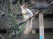 26th Apr 2012 - Squirrel Sciurus vulgaris IMG_2505