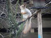 26th Apr 2012 - Squirrel Sciurus vulgaris IMG_2505