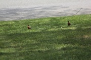 1st May 2012 - Robins in Front Yard