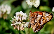 1st May 2012 - Variegated Fritillary