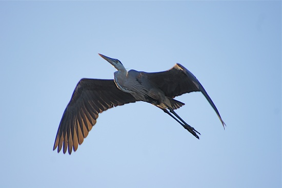 Great Blue Heron by rob257