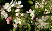 2nd May 2012 - Apple blossoms