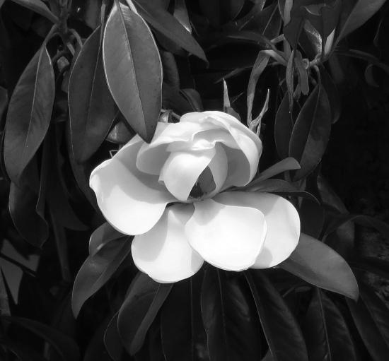 Magnolia by grammyn