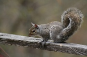 2nd May 2012 - A Gray Squirrel for a Gray Day