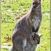 Wallaby And Her Joey by carolmw