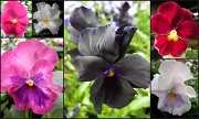 4th May 2012 - Pansy `s  (again)