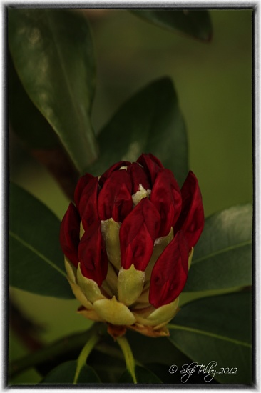 Rhododendron Bud by skipt07