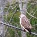 Broad-winged Hawk by sunnygreenwood