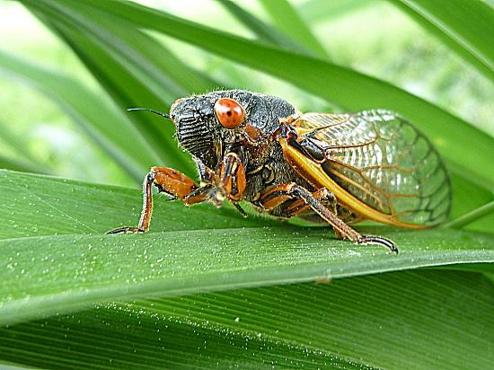 Cicada by calm