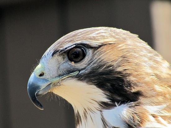 Redtail hawk. by maggie2