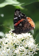 5th May 2012 - Butterfly