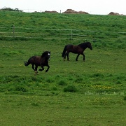 6th May 2012 - A happy Lancelot galloping in his pasture